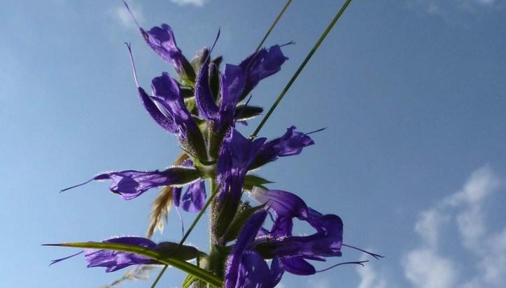 Wild flower in France