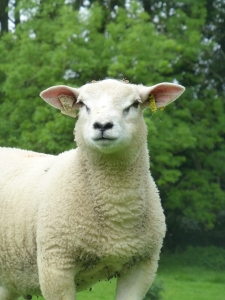 Cotswold sheepsf