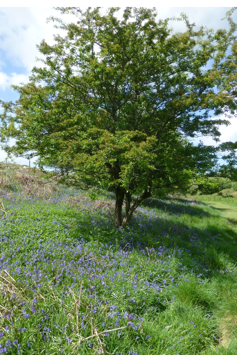Bluebelltree