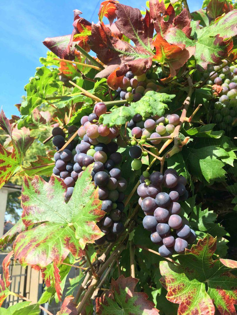 Vals grapes
