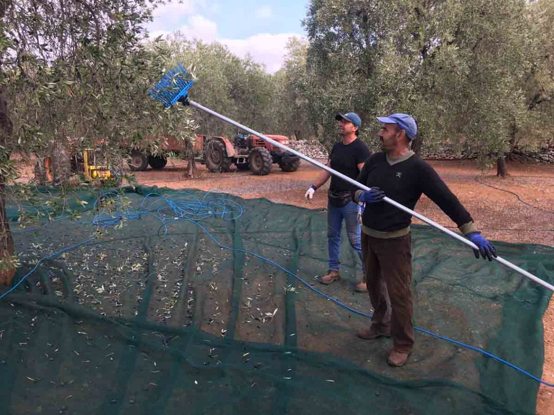 Olive pickers