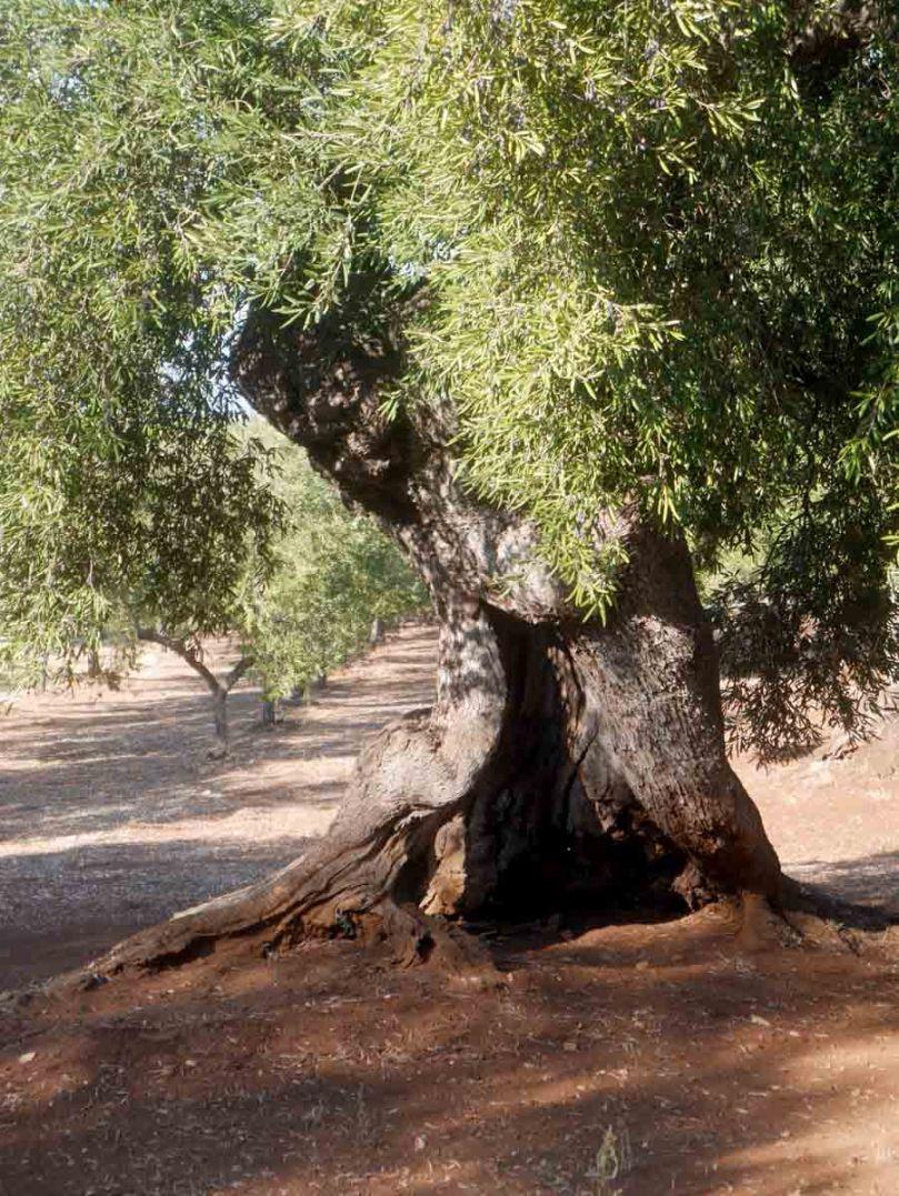 olivetreegash